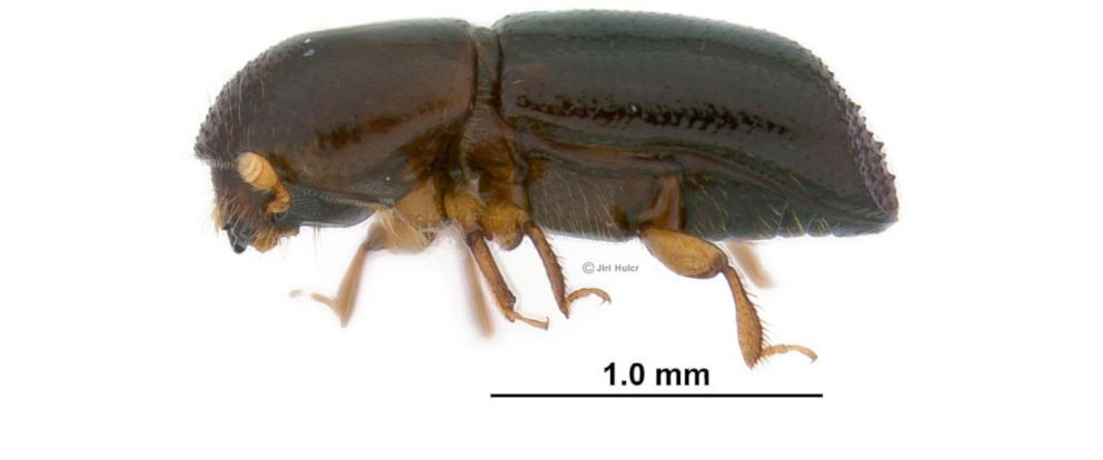 PHOTO: A redbay ambrosia beetle (Xyleborus glabratus) is seen in this photo.