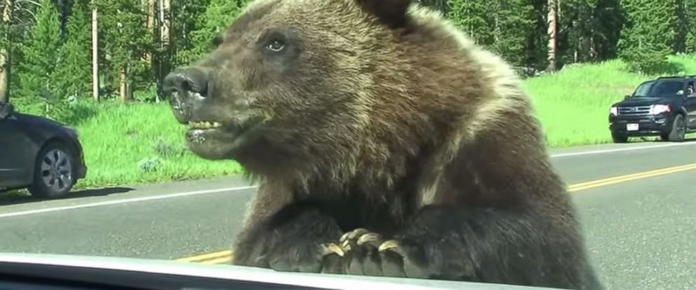 PHOTO: A grizzly bear latched onto the familys car just outside of Cooke City and the entire experience was caught on camera.