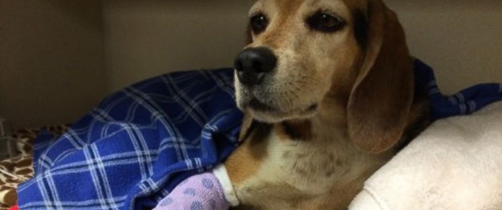 PHOTO: TJ, a beagle that was lost in Fort Collins, Colo., was found after eight weeks in need of surgery.