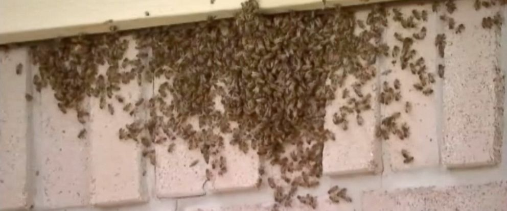 PHOTO: A colony bees were found in a family home in Houston.