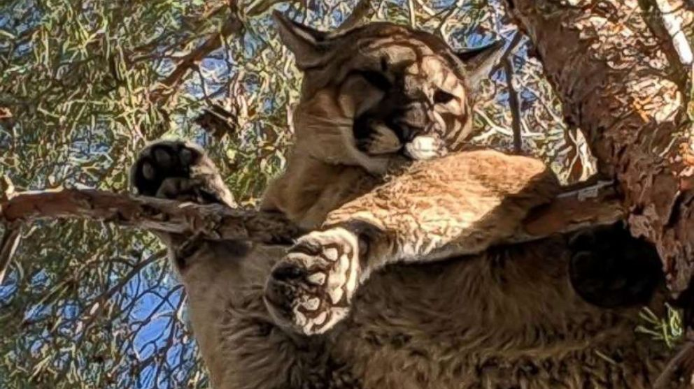 Firefighters helped rescue a mountain lion from a tree outside a home in Hesperia, California, Feb. 16, 2019.