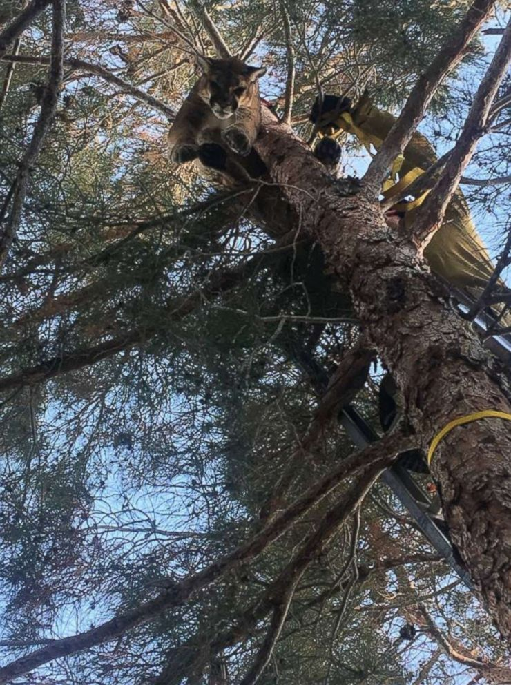 PHOTO: Firefighters helped rescue a mountain lion from a tree outside a home in Hesperia, California, Feb. 16, 2019.