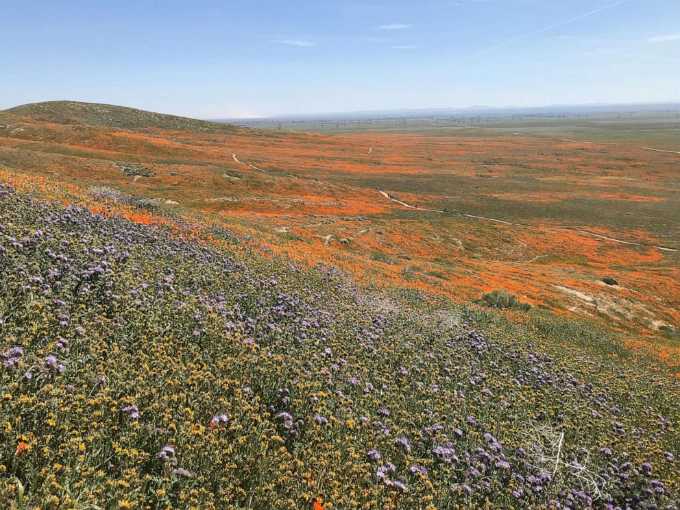 PHOTO: Antelope Valley Poppy Reserve in California urges visitors to stay on the trails.