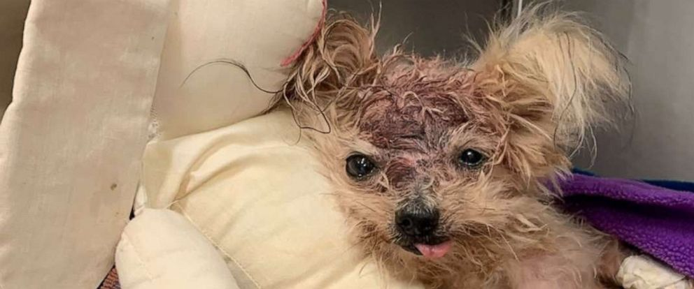 PHOTO: Pringles the Yorkshire Terrier was found in a trashcan with a traumatic head injury last week in North Philadephia.