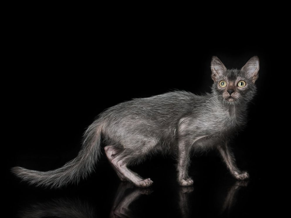 Lykoi Cats For Sale Us