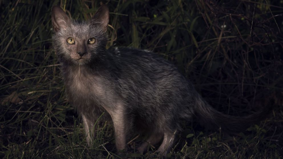 'Werewolf' Cats Exist...and You Can Own One