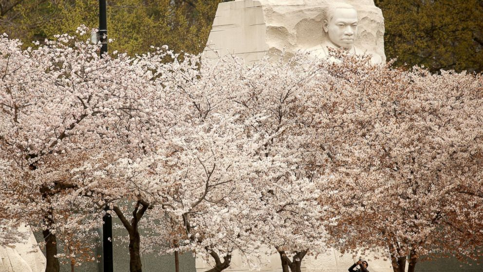 The face on the Martin Luther King Jr. Memorial rises above the cherry trees as a visitor photographs the blossoms along the Tidal Basin in Washington, March 27, 2017.