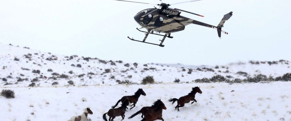 PHOTO: Wild horses are herded into corrals by a helicopter during a Bureau of Land Management round-up outside Milford, Utah, Jan. 7, 2017.