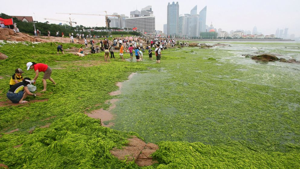 Residents clear seaweed along the coastline of Qingdao, Shandong province, June 30, 2008.