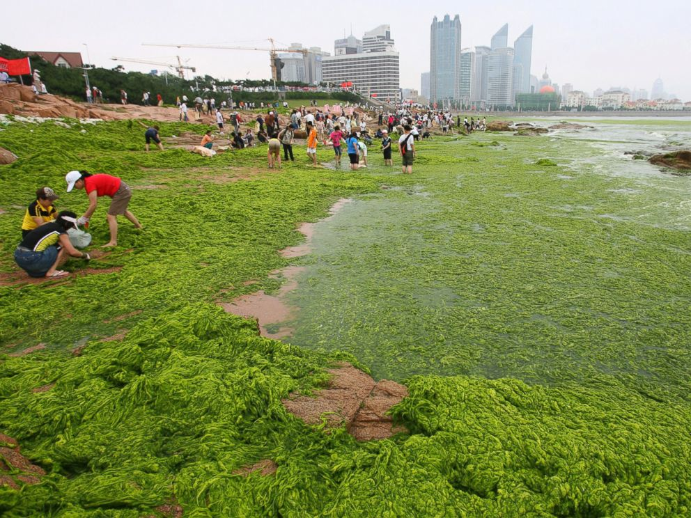 PHOTO: Residents clear seaweed along the coastline of Qingdao, Shandong province, June 30, 2008.