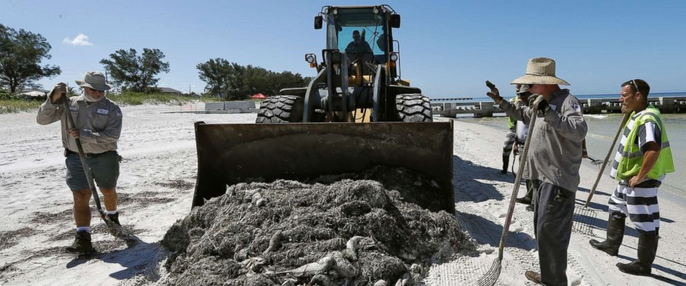 PHOTO: Work crew clean up dead fish on Coquina Beach in Bradenton Beach, Fla., Aug. 6, 2018.