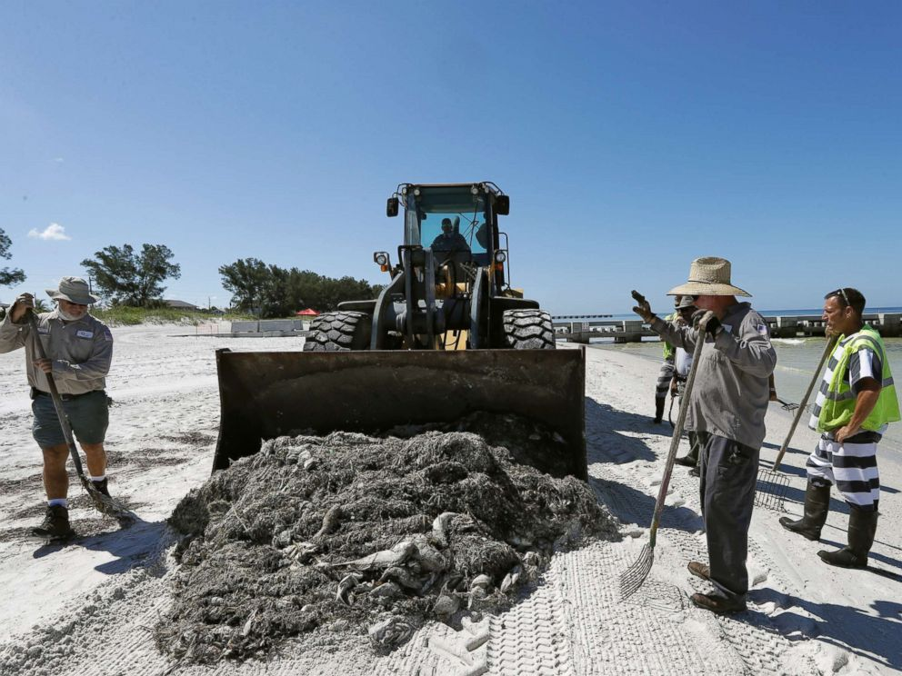 PHOTO: Work crew clean up dead fish on Coquina Beach in Bradenton Beach, Fla., Aug. 6, 2018.