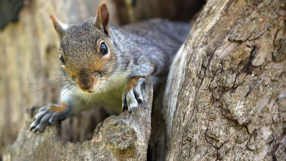 Squirrel tests positive for the bubonic plague in Colorado - ABC News