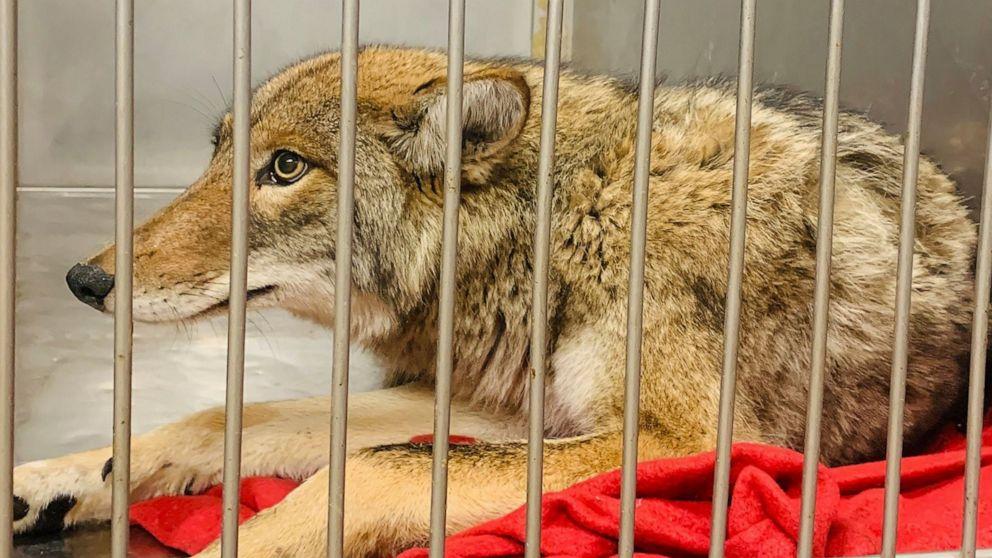 DNA-tests bestätigen coyote gefangen in Chicago angegriffen boy