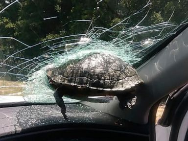 Woman, brother OK after turtle strikes car window