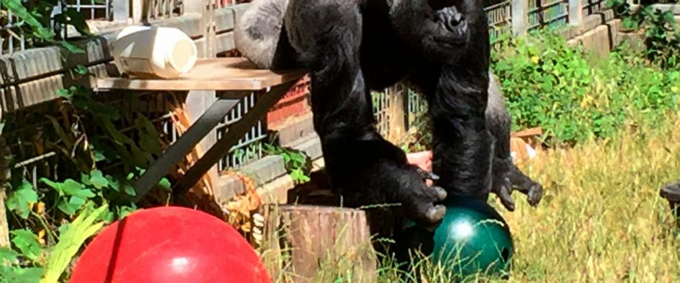 FILE - In this 2016 file photo provided by the Cincinnati Zoo and Botanical Garden, the silverback gorilla Ndume picks up a toy at The Gorilla Foundations preserve in Californias Santa Cruz mountains. Documents in federal court in San Francisco sho