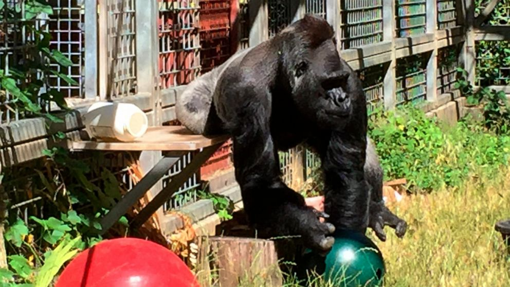 Gorilla back in Cincinnati Zoo after long California stay