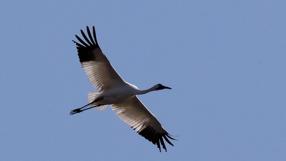 Judge orders man to pay $85K in deaths of 2 whooping cranes
