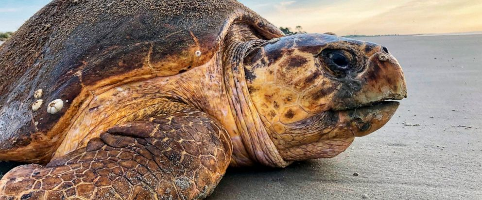 In this July 5, 2019, photo provided by the Georgia Department of Natural Resources, a loggerhead sea turtle returns to the ocean after nesting on Ossabaw Island, Ga. The giant, federally protected turtles are having an egg-laying boom on beaches in