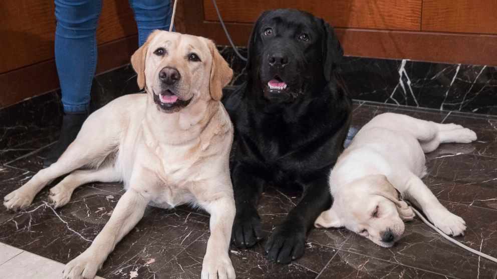 Labrador retriever most pup-ular US dog breed for 28th ...