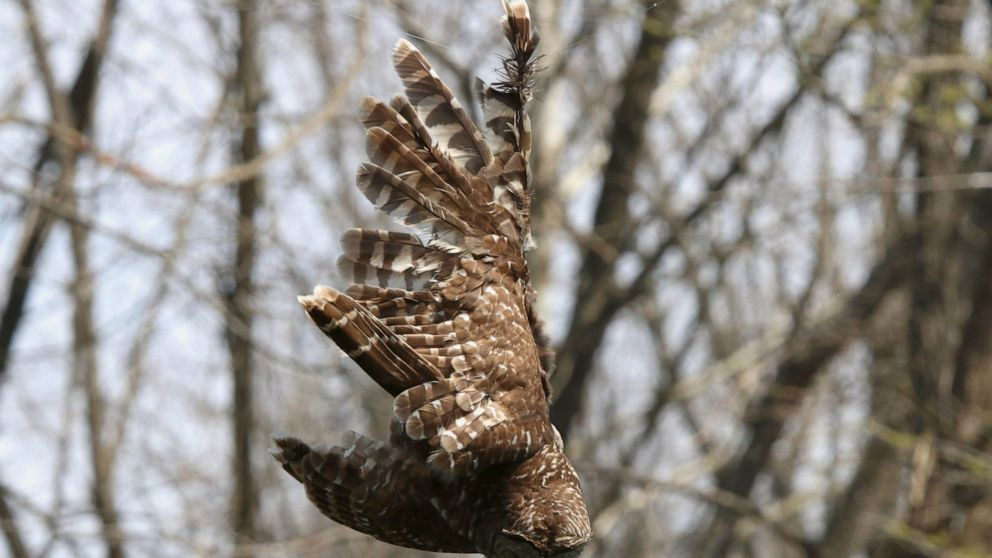 In this April 6, 2019 photo provided by Bill Hulsebus a barred owl is seen caught in fishing line in a tree at the Springfield Conservation Nature Center in Springfield, Mo. The owl caught a lucky break when a snorkeler banded with wildlife officials to rescue the bird from the fishing line tangled in trees above the James River. (Bill Hulsebus via AP)