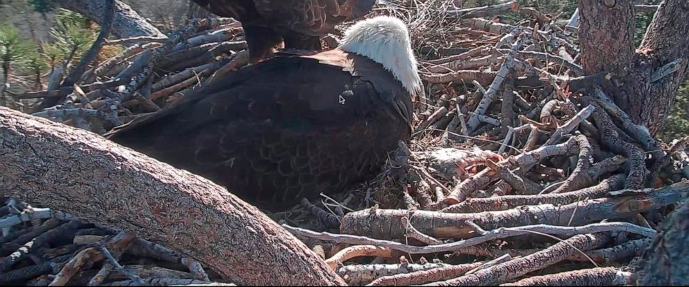 In this remote camera image provided by Friends of Big Bear Valley from Big Bear Eagle Nest Cam, shows bald eagles caring for a hatched eagle on Monday April 15, 2019,in the San Bernardino National Forest, Calif. One of two bald eagle eggs laid last