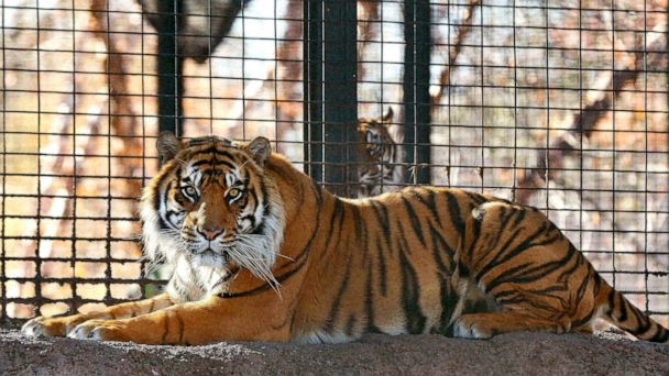Doors left unlocked before tiger attack at Kansas zoo