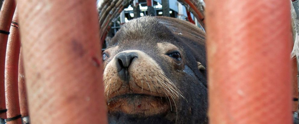 """FILE - In this March 14, 2018, file photo, a California sea lion peers out from a restraint nicknamed """"The Squeeze"""" near Oregon City, Ore., as it is prepared for transport by truck to the Pacific Ocean about 130 miles away. The male sea lion was rele"""