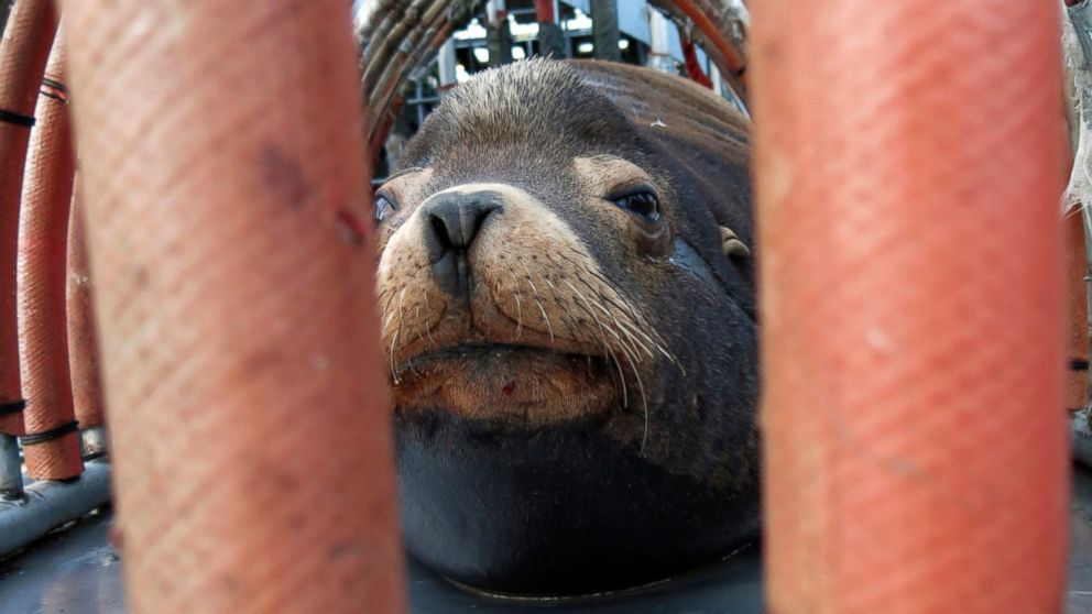 """FILE - In this March 14, 2018, file photo, a California sea lion peers out from a restraint nicknamed """"The Squeeze"""" near Oregon City, Ore., as it is prepared for transport by truck to the Pacific Ocean about 130 miles away. The male sea lion was released south of Newport, Ore., in a program designed to reduce the threat to wild winter steelhead and spring chinook salmon in the Willamette River. Oregon wildlife officials have started killing sea lions that threaten a fragile run of winter steelhead in the Willamette River. The state Department of Fish and Wildlife obtained a federal permit in November to kill up to 93 California sea lions per year below Willamette Falls south of Portland, Oregon Public Broadcasting reported Wednesday, Jan. 9, 2019. (AP Photo/Gillian Flaccus, File)"""
