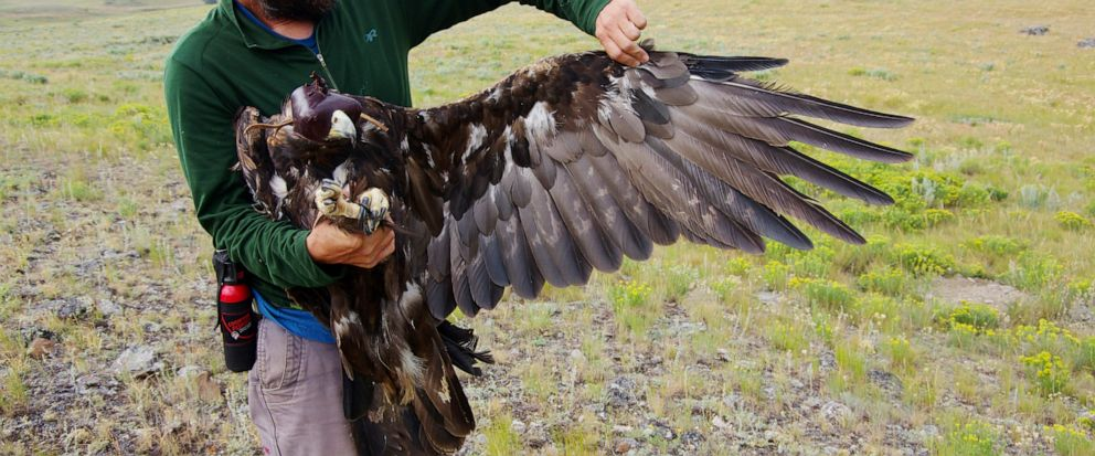 Thus undated photo provided by the National Park Service shows an unidentified scientist with a golden eagle that has been fitted with a tracking device, the first golden eagle to be fitted with such a device in Yellowstone National Park, Wyo. Offici