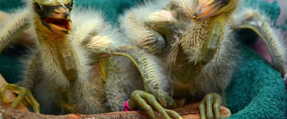 In this Wednesday, July 10, 2019 photo provided by International Bird Rescue, rescued snowy heron chicks are cared for at the organizations facility in Fairfield, Calif. Over a dozen baby herons and egrets were rescued after their tree collapsed in