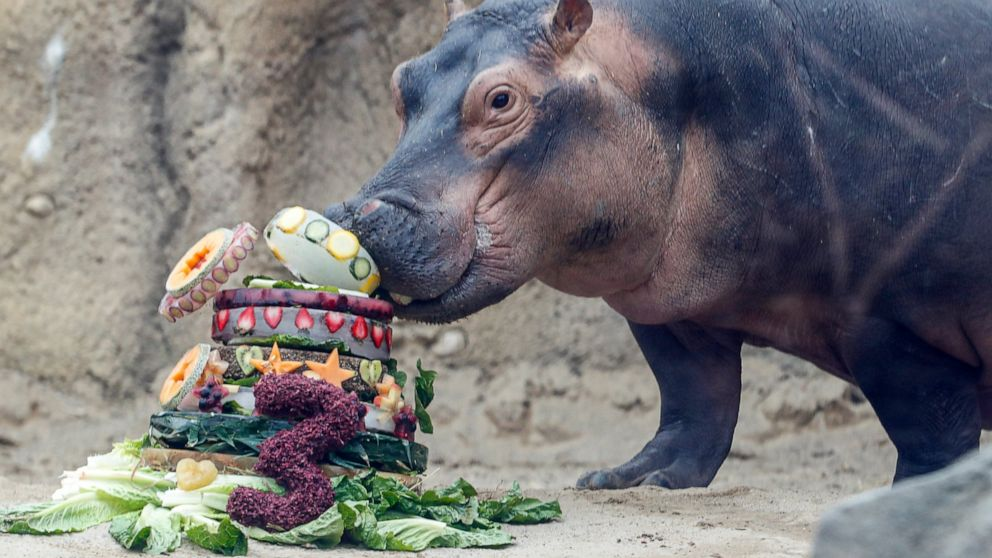 For hippo Fiona's 3rd birthday, zoo seeks aid for Australia thumbnail