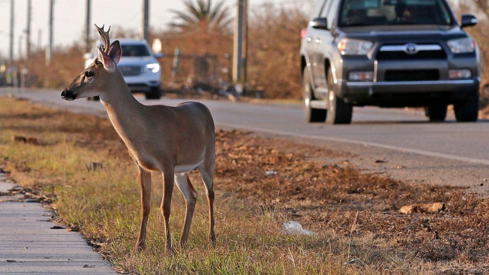 Government suggests taking Key deer off endangered list