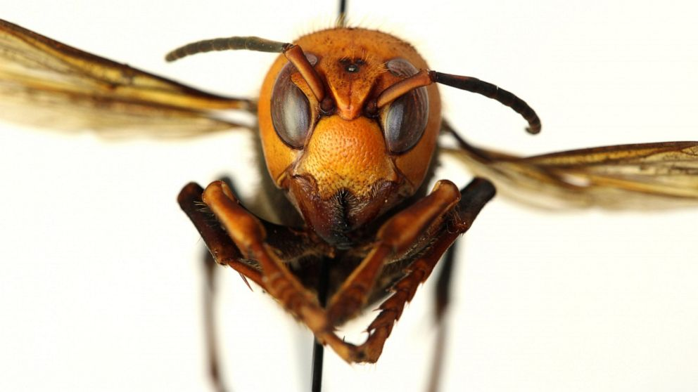 Murder Hornets,' with sting that can kill, land in US - ABC News