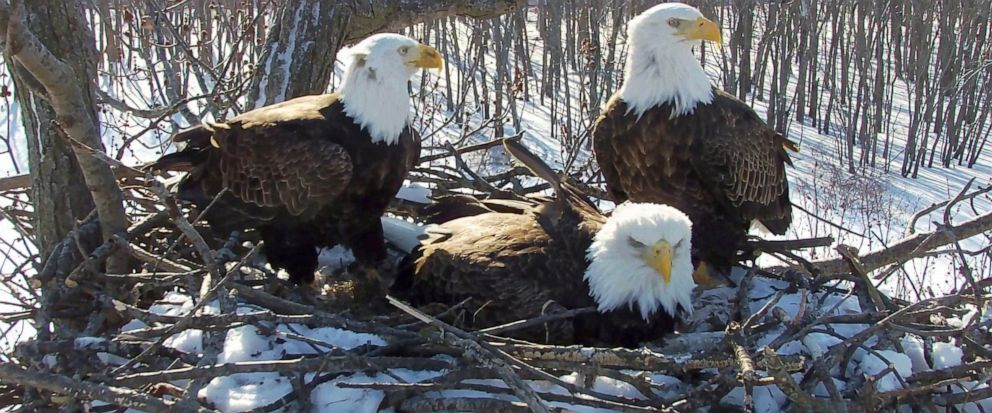 In this Feb. 18, 2019 still photo from video provided by the Stewards of Upper Mississippi River Refuge. in Thompson, Ill., shows two males Valor I and Valor II and one female bald eagle, Starr, center, sharing a nest of eggs along the Upper Mississi