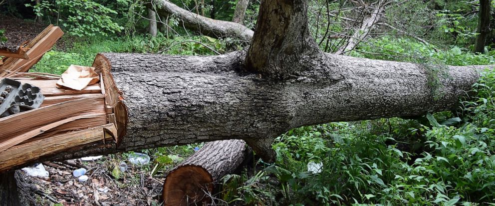 """In this Thursday, July 18, 2019 photo, provided by David G. Johnson of the Hamden Historical Society, the damaged remains of the historic 200-year-old """"Door Tree"""" lies on the ground, in Hamden, Conn. Connecticut authorities say the person responsible"""