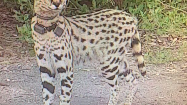 Rocky the escaped African cat spotted again in Virginia