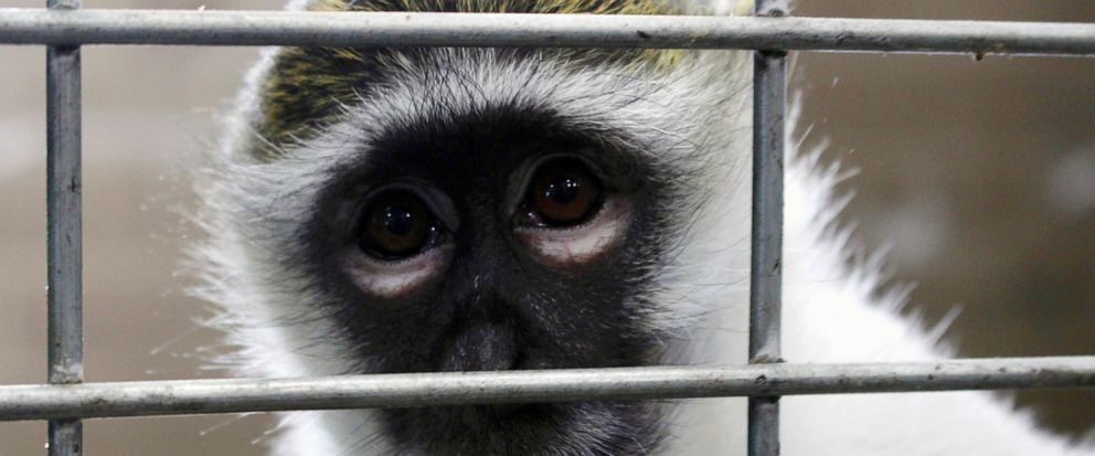 In this May 13, 2019, photo, Bella the vervet monkey looks at the camera at Primates Inc., in Westfield, Wis. Besides Bella, previously a pet, the sanctuary has five rhesus macaque monkeys that were previously used in medical research. More research