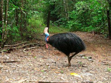 Large flightless bird attacks and kills its fallen owner
