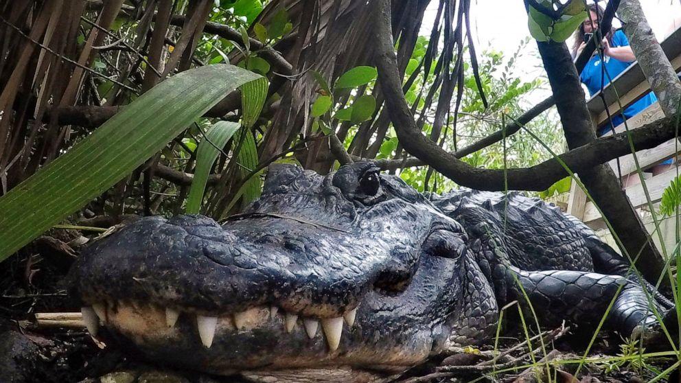 Louisiana verklagt in Kalifornien über alligator-ban