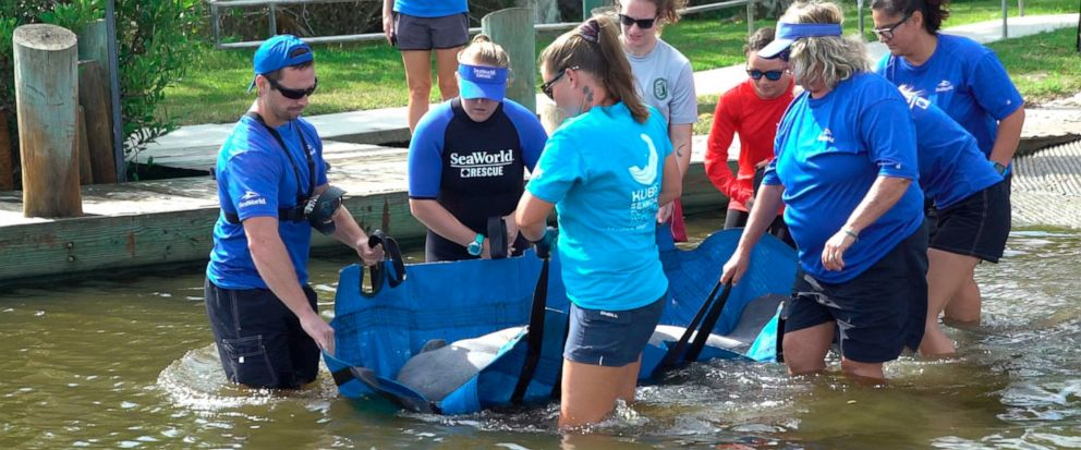 In this Oct. 17, 2019 photo made available by SeaWorld Orlando, employees release a rescued manatee back into the wild in Oak Hill, Fla. The manatee was released after it was treated for a torn lung likely sustained in a collision with a boat. SeaWor