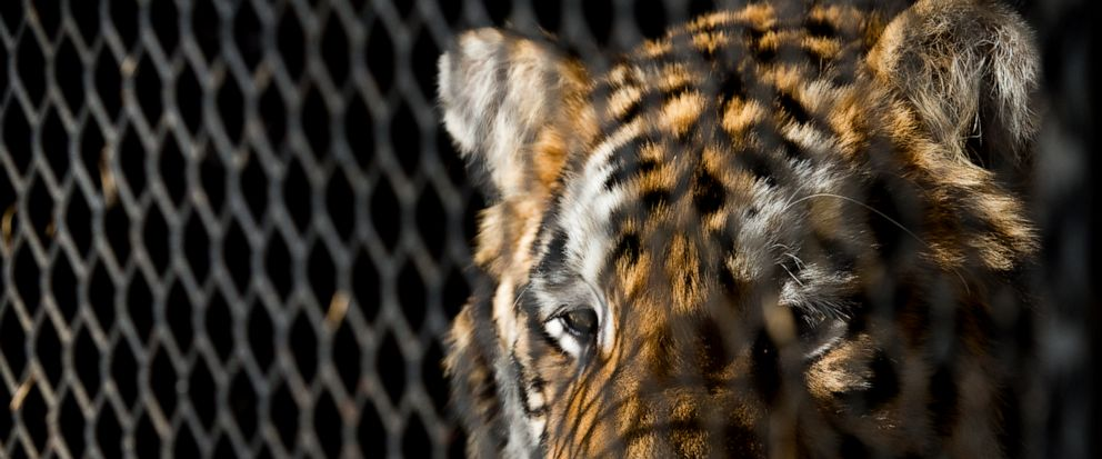 FILE - In this Feb. 12, 2019, file photo, a tiger that was found in a Southeast Houston residence awaits transport to a rescue facility at the BARC Animal Shelter and Adoptions building in Houston. The ex-owner of a tiger rescued from a filthy cage i