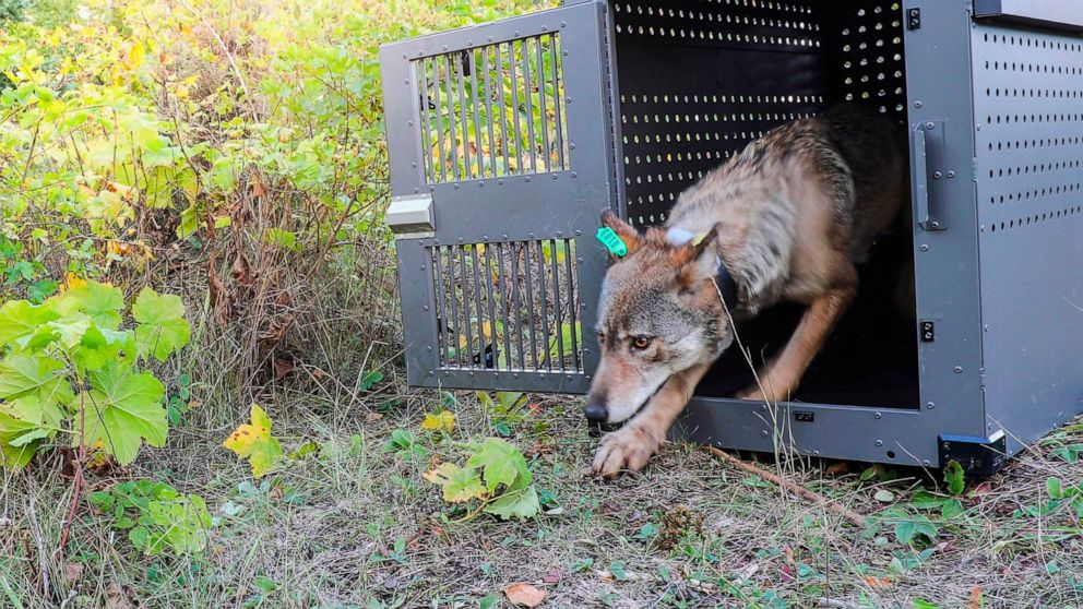 FILE - In this Sept. 26, 2018, file photo, provided by the National Park Service, a 4-year-old female gray wolf emerges from her cage as it is released at Isle Royale National Park in Michigan. A group of scientists urged the Biden administration Thu