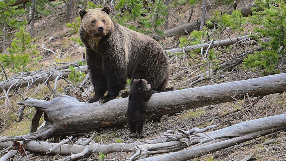 US challenges part of ruling that blocked grizzly bear hunts