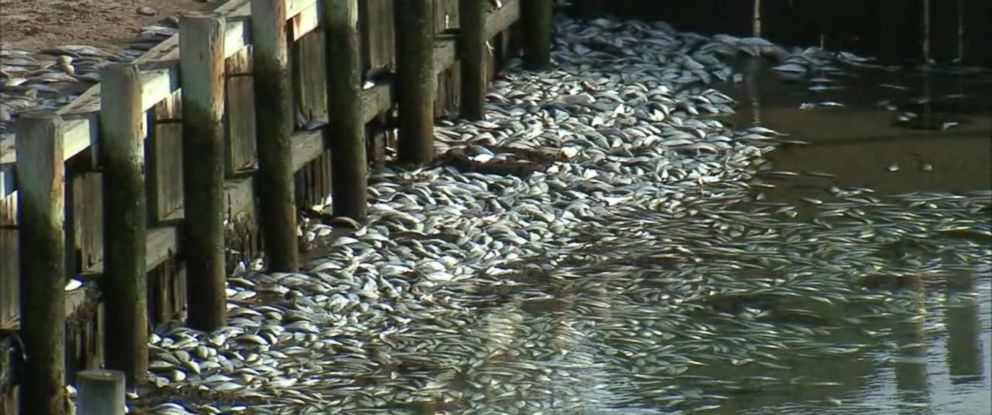 PHOTO: Tens of thousands of dead fish turned up in a Canal in Hampton Bays, New York, on Nov. 14, 2016, according to environmental officials.