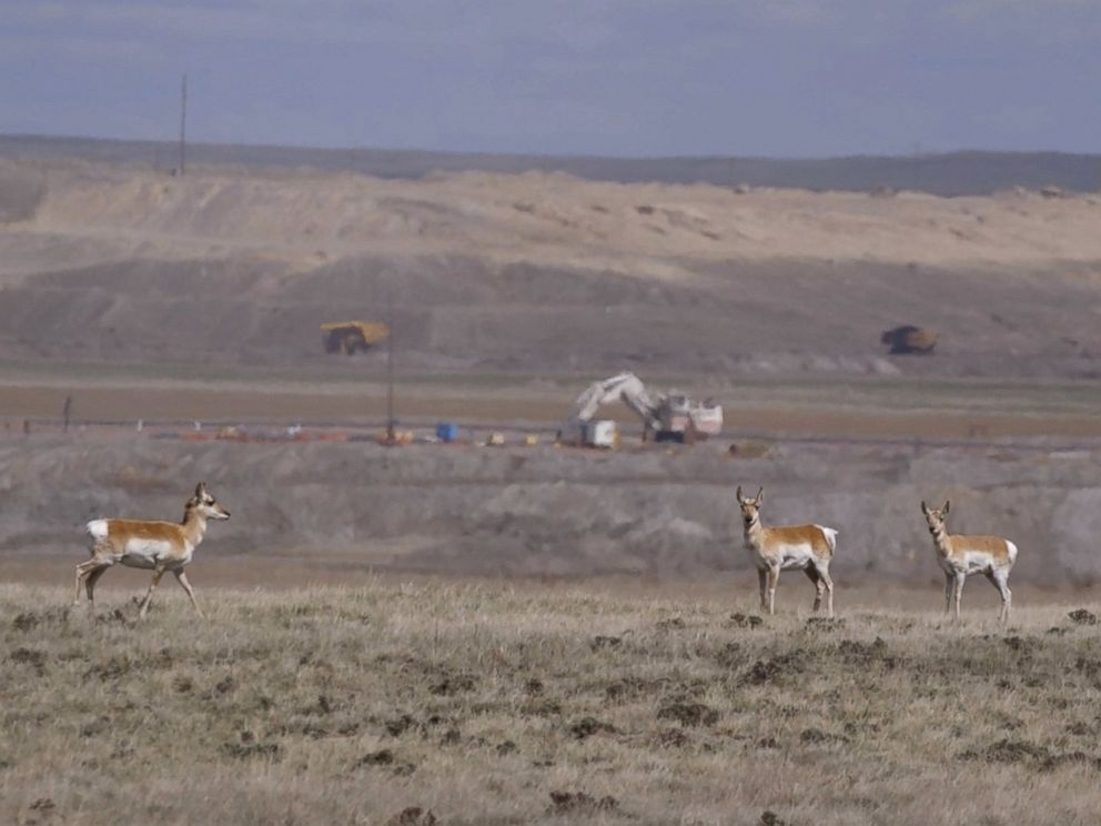 PHOTO: Mining companies are legally required to put the soil back in place after they finish mining in a particular area, and often point to how animals return to the land to graze as proof of the success of that process.