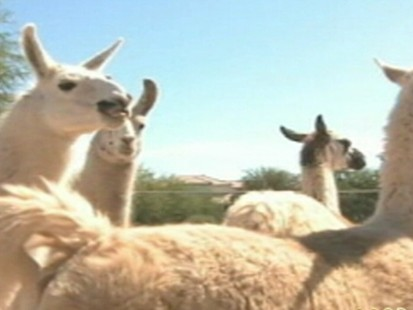VIDEO: An Arizona woman rescues abandoned llamas from across the southwest.