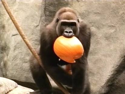 VIDEO: Animals at the Ridgefield Zoo eat pumpkins.