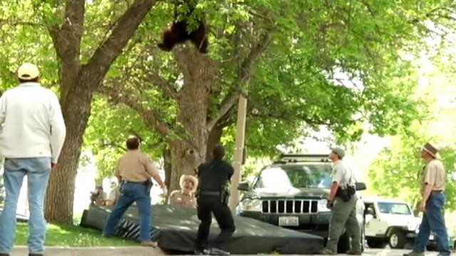 Bear Falls From Tree