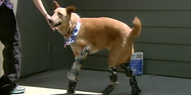 PHOTO:Nakio has the spirit of most dogs, however he has four prosthetic paws.